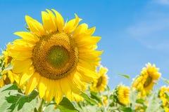 De bloem van de zon met blauwe hemel Stock Afbeelding