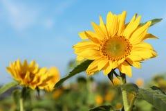 De bloem van de zon met blauwe hemel Stock Afbeeldingen