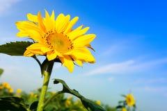 De bloem van de zon met blauwe hemel Stock Foto's