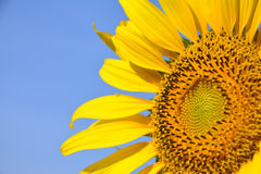 De bloem van de zon met blauwe hemel Stock Fotografie