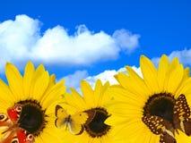 De bloem van de zon met vlinders op hemelachtergrond Stock Fotografie