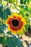 De bloem van de zon op het gebied Royalty-vrije Stock Fotografie