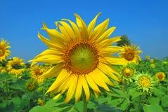 De bloem van de zon tegen een blauwe hemel Stock Foto