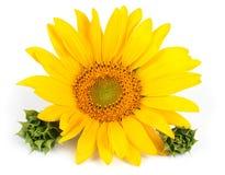 De bloem van de zonnebloem Stock Foto