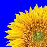 De bloem van de zonnebloem op een blauwe achtergrond Royalty-vrije Stock Afbeelding