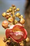 De bloem van de zoutboom Stock Foto's