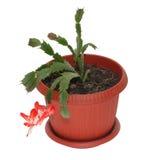 De bloem van decembrist Royalty-vrije Stock Afbeelding