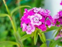 De bloem van Dianthusbarbatus Stock Fotografie