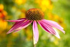 De bloem van Echinacea Stock Afbeeldingen