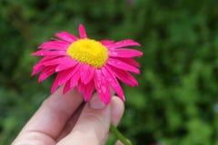 De bloem van Echinacea in de handen Stock Afbeeldingen