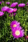 De bloem van edulis Carpobrotus stock foto's