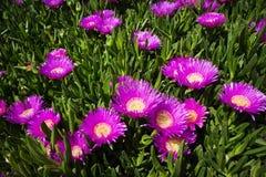 De bloem van edulis Carpobrotus royalty-vrije stock foto