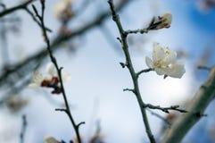 De bloem van een abrikozenboom die op de manier bloeit Stock Fotografie