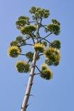 De bloem van een agaveinstallatie Stock Foto's