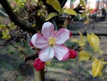 De bloem van een appelboom Stock Afbeelding