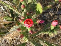 De bloem van een cactus royalty-vrije stock foto