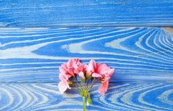 De bloem van een geranium van koraalkleur ligt op een witte achtergrond royalty-vrije stock foto