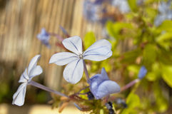 De bloem van Emilia Stock Foto