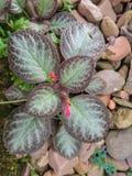 De bloem van Episciacupreata Stock Foto