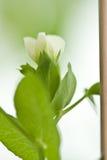 De bloem van erwten Royalty-vrije Stock Afbeeldingen