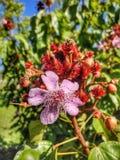 De bloem van Eugenia royalty-vrije stock afbeeldingen