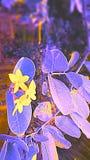 De bloem van fantasiekaranda Royalty-vrije Stock Afbeeldingen