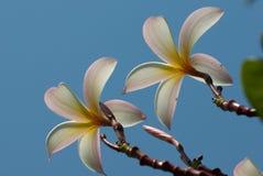 De bloem van Frangipani royalty-vrije stock foto's