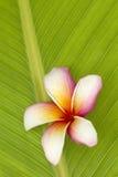 De bloem van Frangipani Stock Foto