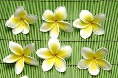 De bloem van Frangipani Stock Afbeelding