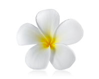 De bloem van Frangipani die op wit wordt geïsoleerdt stock foto