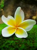 De bloem van Frangipani tegen koele mosachtergrond Stock Fotografie