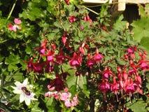 De bloem van fuchsia bloeide al zomer Royalty-vrije Stock Fotografie