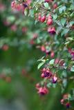 De bloem van Fuschia Royalty-vrije Stock Foto's