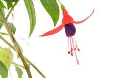 De bloem van Fuschia Stock Foto