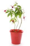 De bloem van Fuschia Stock Fotografie