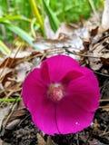 De bloem van de Fuschiagrond stock foto's
