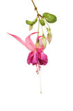 De bloem van Fuscia Stock Afbeelding