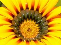 De bloem van Gazania royalty-vrije stock foto