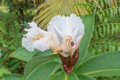 De bloem van de gember stock afbeeldingen