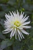 De bloem van Georgina met dauwdalingen Stock Afbeeldingen