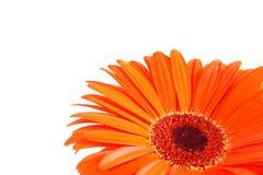De bloem van Gerber royalty-vrije stock afbeelding