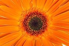 De bloem van Gerber Royalty-vrije Stock Afbeeldingen
