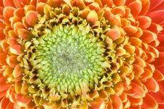 De bloem van Gerbera Stock Foto's