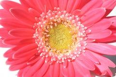 De bloem van Gerbera Stock Afbeeldingen