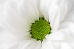De bloem van Gerbera Royalty-vrije Stock Afbeelding