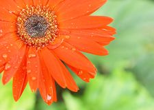 De bloem van Gerbera Stock Afbeelding