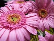 De bloem van Gerbera Stock Foto