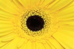 De bloem van Gerbera Royalty-vrije Stock Foto's