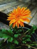 De bloem van Gerbera Royalty-vrije Stock Foto