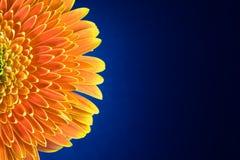 De bloem van Gerbera doorbladert over blauw Stock Afbeeldingen